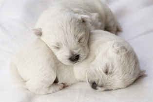 Young White Puppies